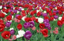 Campo del tulipano Fotografie Stock Libere da Diritti