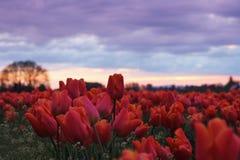 Campo del tulipano al crepuscolo Immagine Stock Libera da Diritti