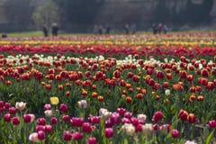 Campo del tulipano in Arese Tulipani Italia immagini stock libere da diritti