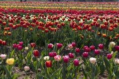 Campo del tulipano in Arese Tulipani Italia immagine stock