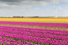 Campo del tulipano con differenti colori Fotografia Stock Libera da Diritti
