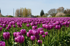 Campo del tulipano con i fiori porpora Fotografie Stock Libere da Diritti
