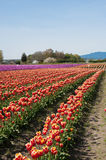 Campo del tulipano con i fiori porpora e rossi Immagini Stock