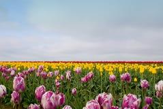 Tulip Field dei sogni Fotografia Stock