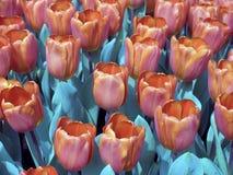 Campo del tulipano del campo fotografie stock