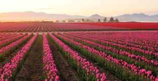 Campo del tulipano della valle di Skagit ad alba nebbiosa Immagine Stock