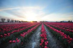 Campo del tulipano di mattina Fotografia Stock