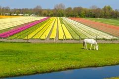 Campo del tulipano e del cavallo bianco nei Paesi Bassi rurali Immagini Stock