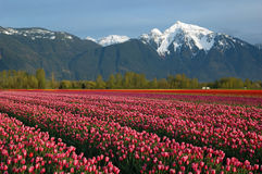 Campo del tulipano e montagna della neve Fotografia Stock