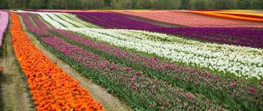Campo del tulipano del fiore fotografia stock