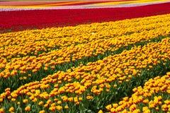 Campo del tulipano del fiore fotografie stock