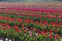 Campo del tulipano in italiani di Arese Tulipani immagini stock