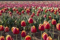 Campo del tulipano in italiani di Arese Tulipani fotografia stock
