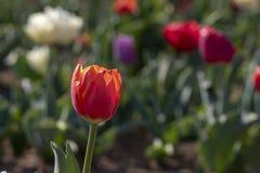Campo del tulipano in italiani di Arese Tulipani fotografie stock