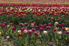 Campo del tulipano in italiani di Arese Tulipani fotografia stock libera da diritti