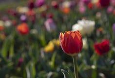 Campo del tulipano in italiani di Arese Tulipani immagine stock libera da diritti