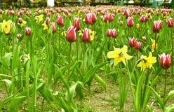Campo del Tulipano-jonquil immagini stock libere da diritti