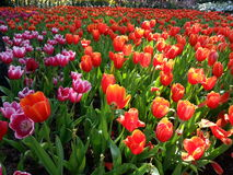 Campo del tulipano nell'ambito dei raggi del sole fotografie stock