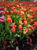 Campo del tulipano nell'ambito dei raggi del sole fotografie stock libere da diritti