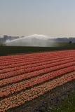 Campo del tulipano in Olanda Immagine Stock Libera da Diritti