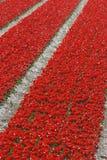 Campo del tulipano in Olanda Immagini Stock Libere da Diritti