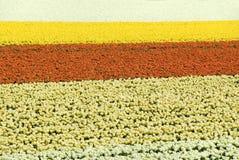 Campo del tulipano in Olanda Fotografie Stock