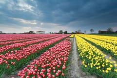Campo del tulipano in Olanda Immagini Stock