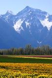Campo del tulipano in primavera fotografie stock