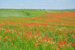 Campo del verano de amapolas rojas imagen de archivo libre de regalías