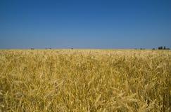 Campo del verano del trigo Foto de archivo libre de regalías