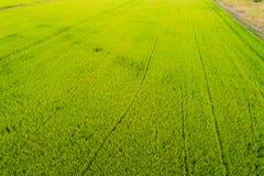 Campo del verde de la plantación del arroz Imagenes de archivo