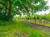 Campo del viñedo debajo de un árbol fotografía de archivo