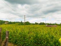Campo del viñedo en una ladera Fotografía de archivo