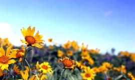 Campo del Wildflower Immagini Stock Libere da Diritti