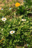 Campo delicato dei fiori Fotografia Stock Libera da Diritti