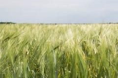 Campo dell'agricoltore con le spighette verdi di giovane grano fotografia stock libera da diritti
