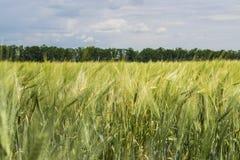 Campo dell'agricoltore con le spighette verdi di giovane grano immagini stock