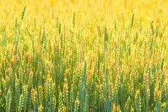 Campo dell'agricoltore del fondo del grano Immagine Stock Libera da Diritti