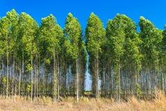 Campo dell'albero di eucalyptus Fotografie Stock