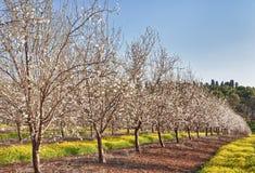 Campo dell'albero di mandorla Fotografie Stock