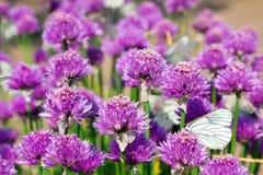 Campo dell'allium con le farfalle Fotografia Stock Libera da Diritti