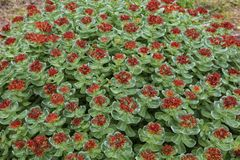 Campo dell'Artide di fioritura di Rhodiola regione su isole di Solovetsky, Murmansk, fotografie stock