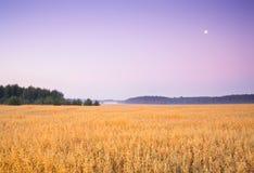 Campo dell'avena ad alba nebbiosa Fotografie Stock