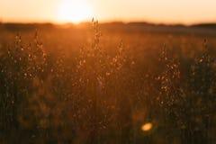 Campo dell'avena al tramonto Fotografia Stock