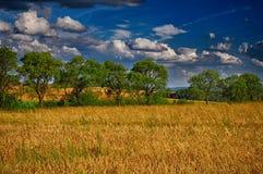 Campo dell'avena di agricoltura con gli alberi ed il cielo blu Immagine Stock