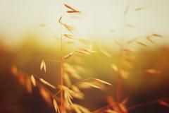Campo dell'avena nel tramonto Chiuda sulla vista immagine stock