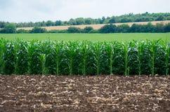 Campo dell'azienda agricola con le file del mais fotografia stock libera da diritti