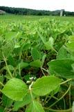Campo dell'azienda agricola dei fagioli della soia Fotografia Stock