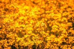 Campo dell'azienda agricola dei fiori dorati della violenza Fotografia Stock Libera da Diritti