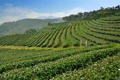 Campo dell'azienda agricola del tè, Tailandia Immagine Stock Libera da Diritti